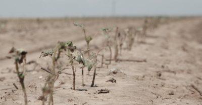 photo of wilted crops in barren soil