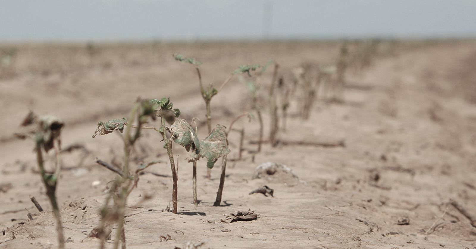 photo of wilted crops in barren soil