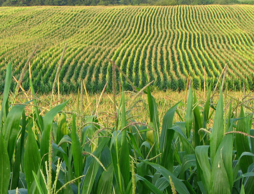 ReportUnderstanding U.S. Corn Ethanol and Other Corn-Based Biofuels SubsidiesTaxpayers have subsidized the mature corn ethanol industry for more than 40 years